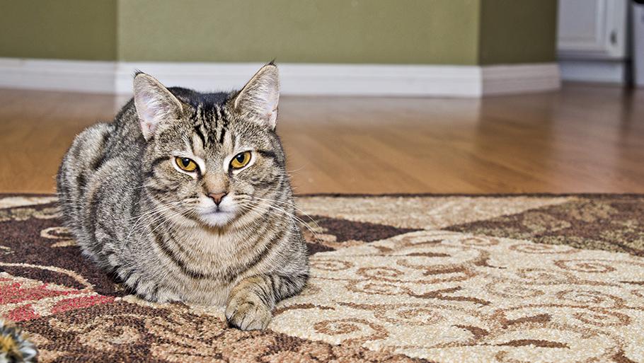 как почистить ковер от мочи кота