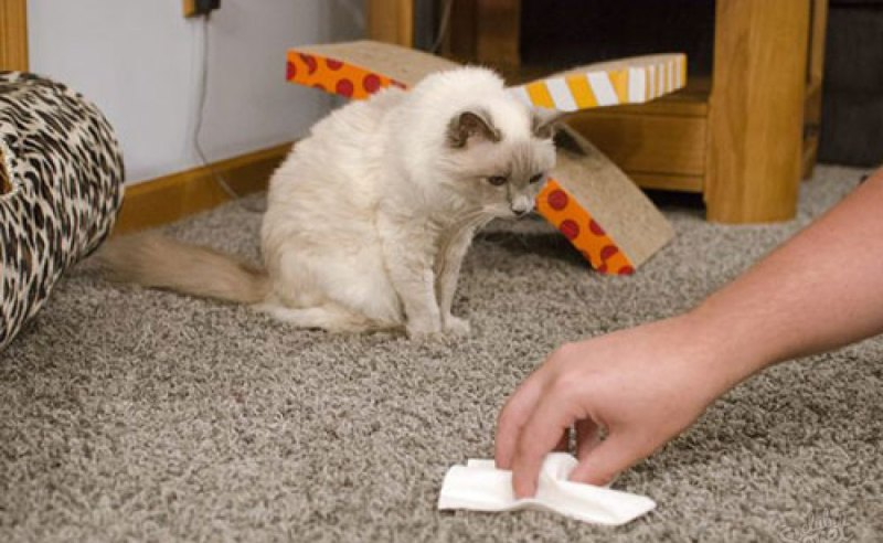 удалить запах кошачьей мочи с ковра