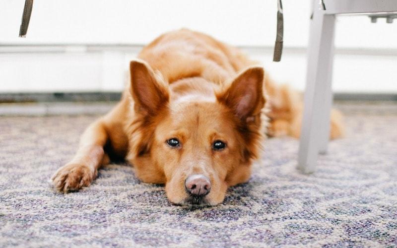убрать запах собачьей мочи на ковре